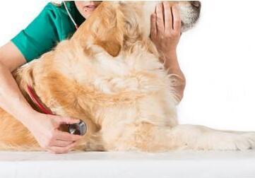 狗狗关节炎的症状和治疗