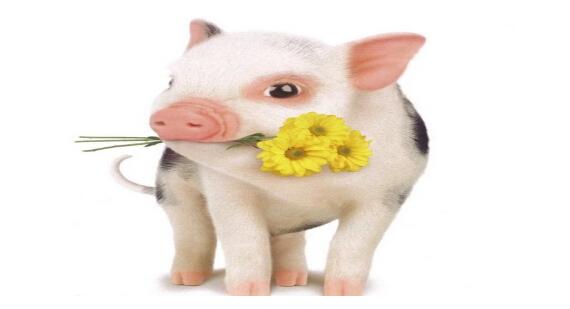 一群猪的图片_赶一群猪到北京换楼Lonelyislandchanterl